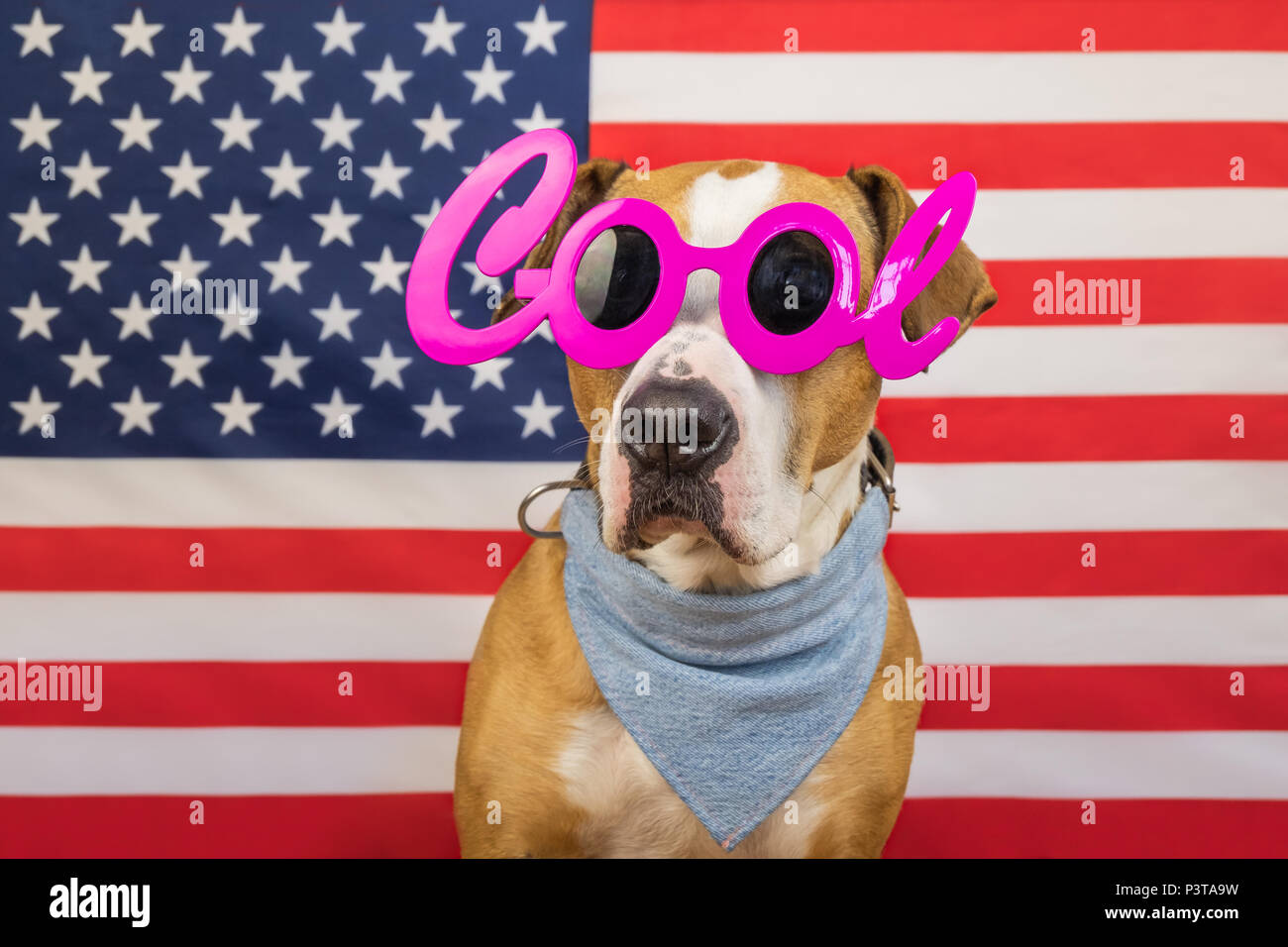 American independence day concept, with staffordshire terrier dog and stars and stripes flag in studio. Cheerful and happy pitbull dog in 'cool' masqu - Stock Image