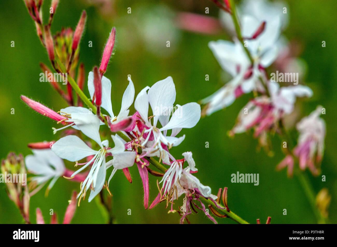 Lindheimer's beeblossom, Gaura lindheimeri Stock Photo