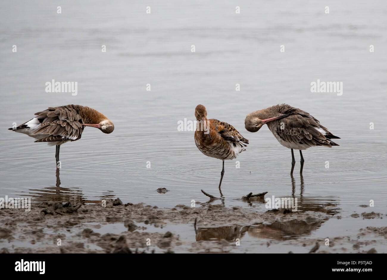 Black tailed Godwits on the shore line, with redflection - Stock Image