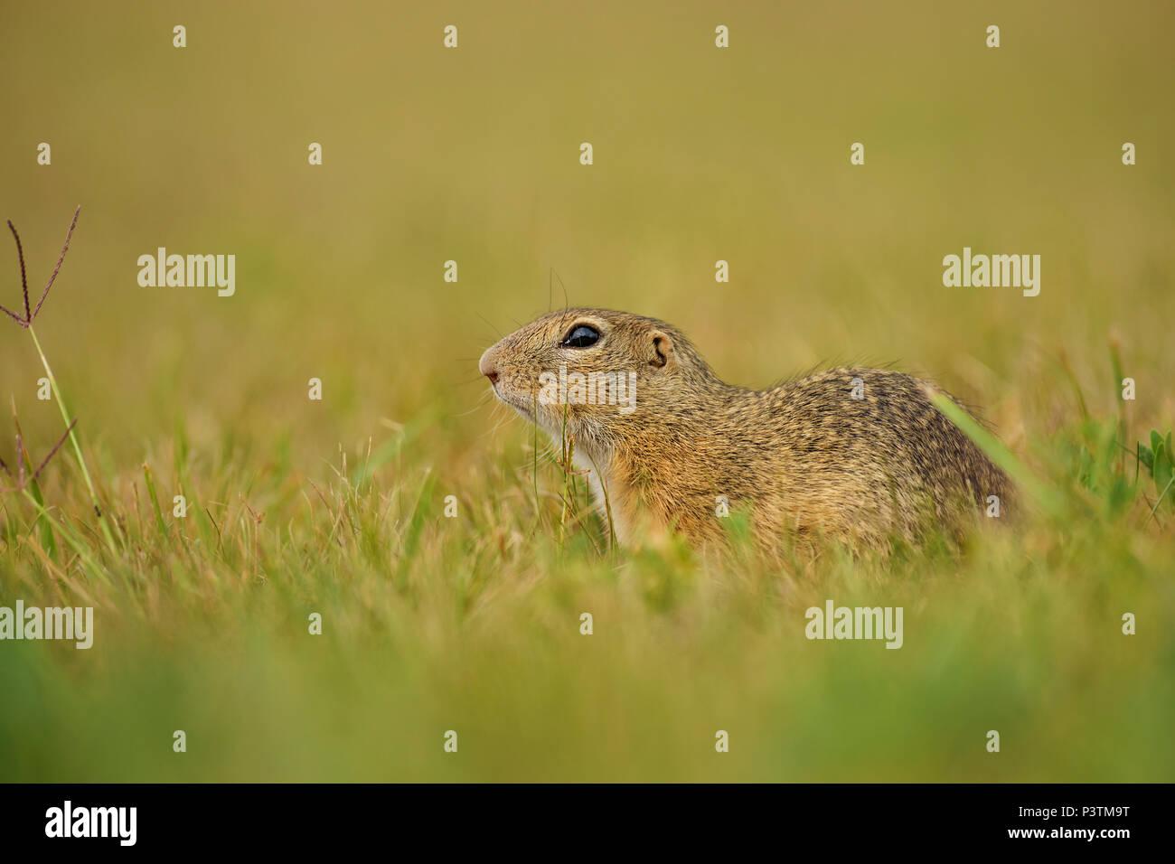 European Ground Squirrel - Spermophilus citellus, cute little ground squirrel from European meadows and fields. Stock Photo