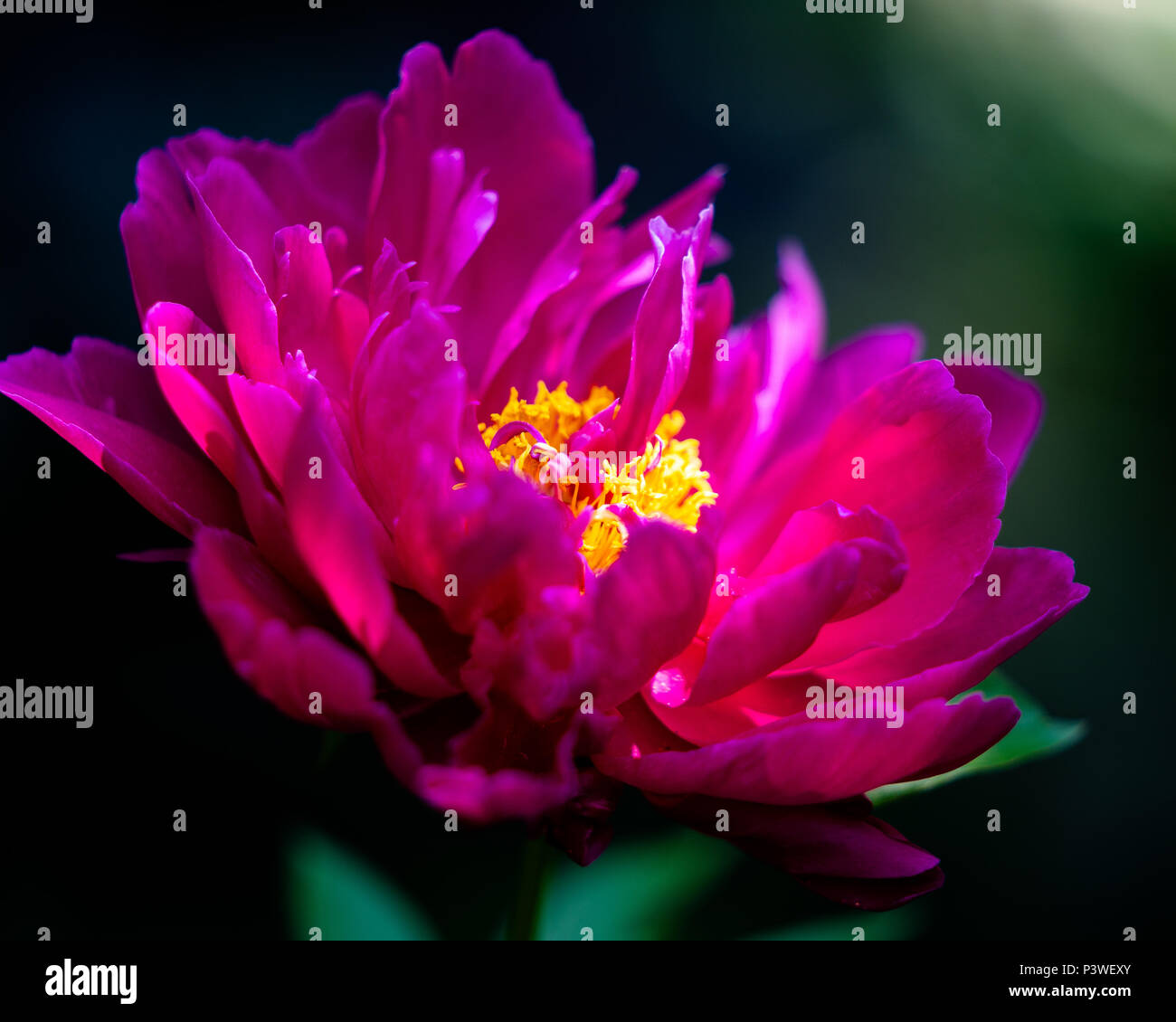 Beautiful pink flower with sunlight falling over it - Stock Image