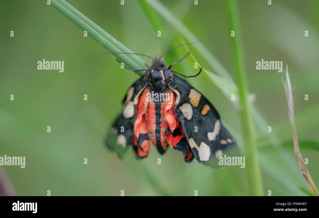 A beautiful scarlet tiger moth in a macro soft focus image - Stock Image