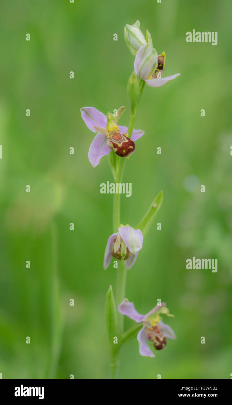 a wild growing bee orchid in amoungst the grass in Gloucester - Stock Image