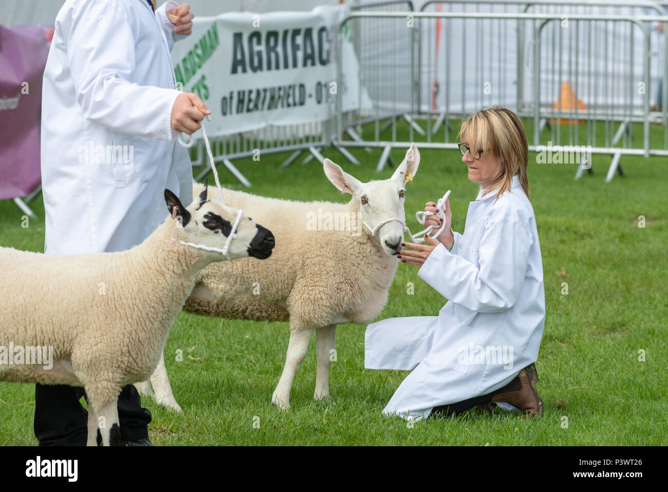 The competitor strokes her Border Leicester rare breed sheep while waiting for the judging to start at the South Of England Show in Sussex, England​. - Stock Image
