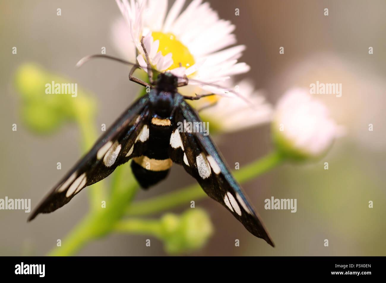 Nine-spotted moth or yellow belted burnet, Amata phegea, formerly Syntomis phegea on chamomile flower. Selective focus - Stock Image