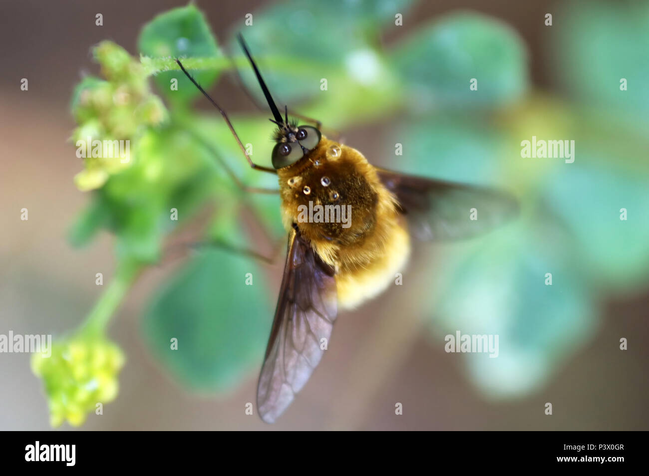 Bee fly or humbleflie (Bombylius major) resting on a leaf. Selective focus Stock Photo