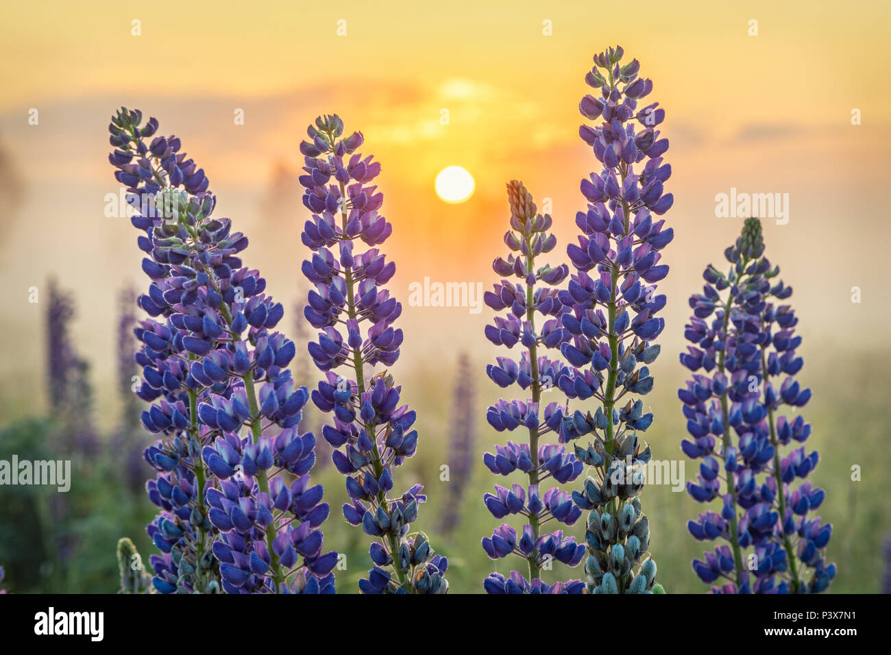 Lupin flowers with rising sun on background - Stock Image