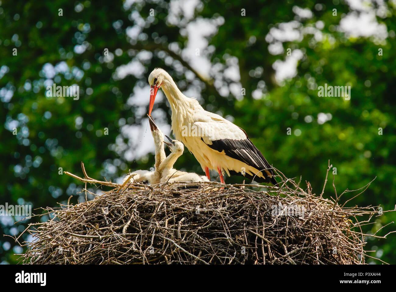White Stork (Ciconia ciconia) feeding chicks on nest, Switzerland. Stock Photo