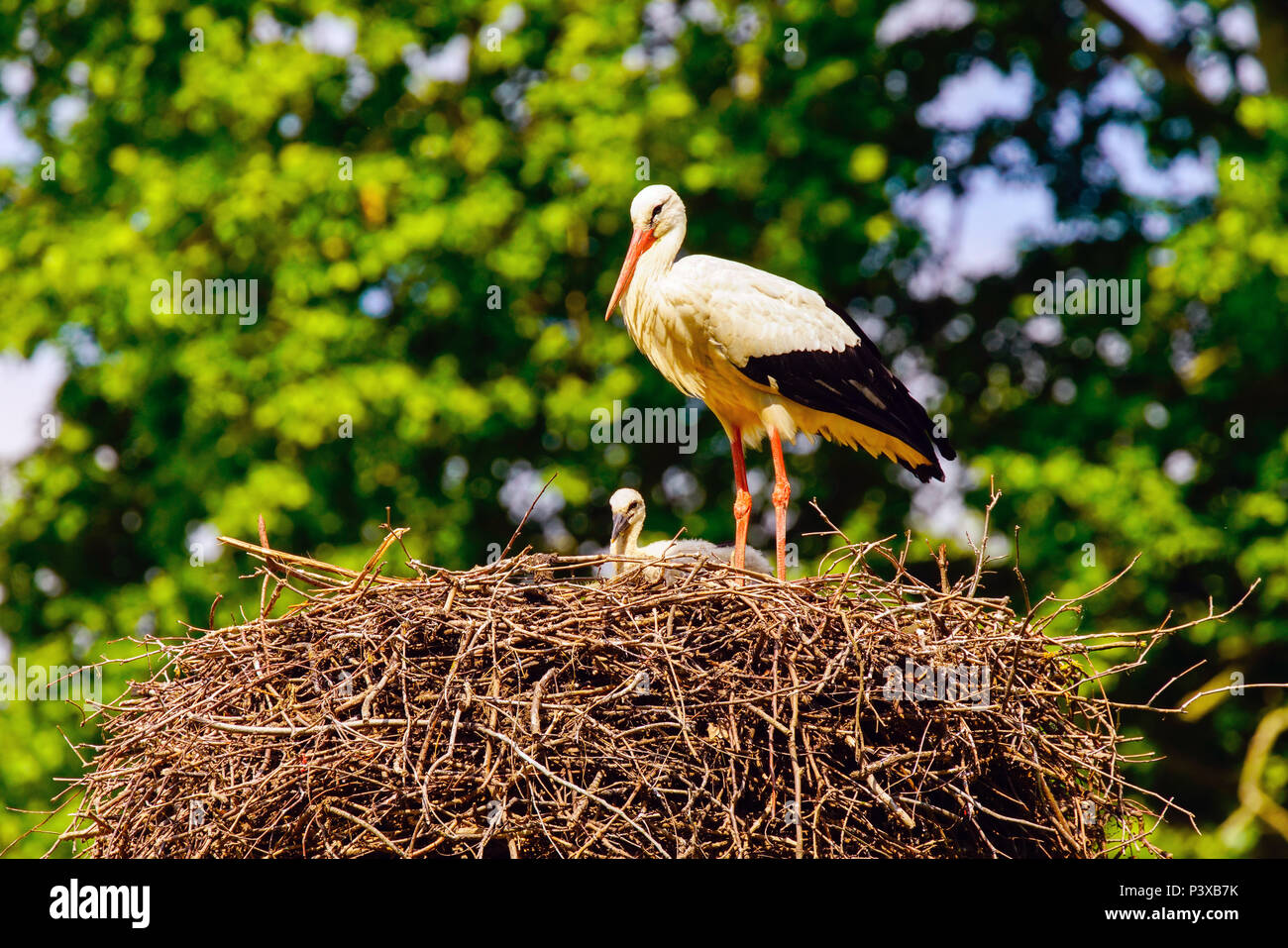 White storks (Ciconia ciconia) with chicks in the nest, Switzerland. Stock Photo