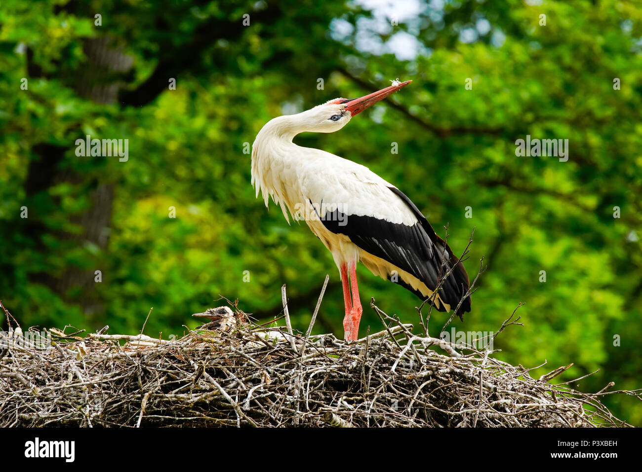 White storks (Ciconia ciconia) greeting in the nest, Switzerland. - Stock Image