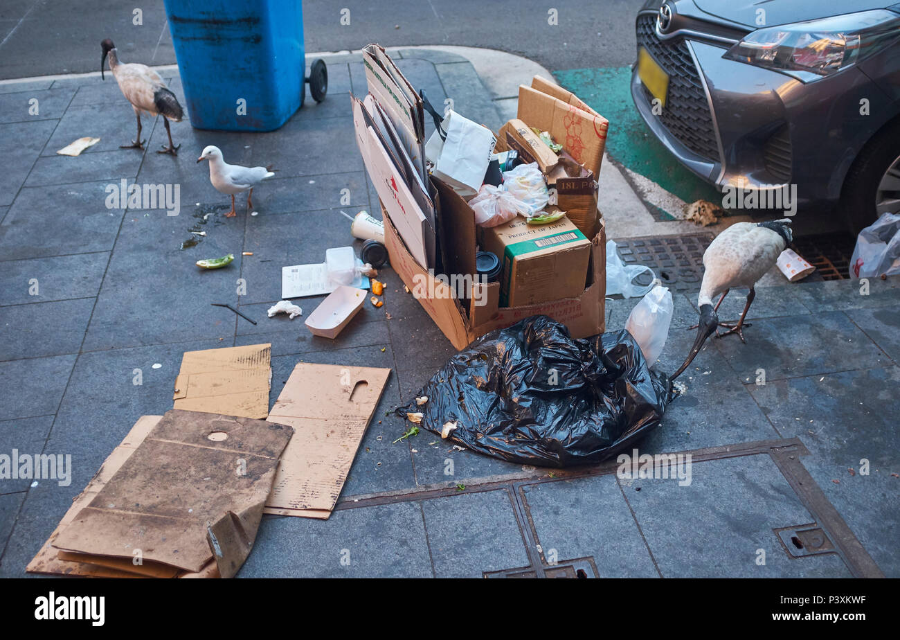 Australian White Ibis picking through a black rubbish bag on the pavement next to a stack of cardboard boxes and a car searching for food in Sydney - Stock Image