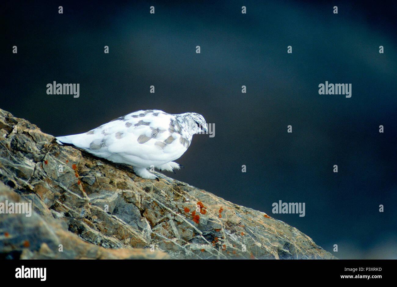 Rock Ptarmigan, Lagopus mura, Phasianidae, winter dress, bird, animal, Cassonsgrat, Flimserstein, Flims, Canton of Graubünden, Switzerland - Stock Image