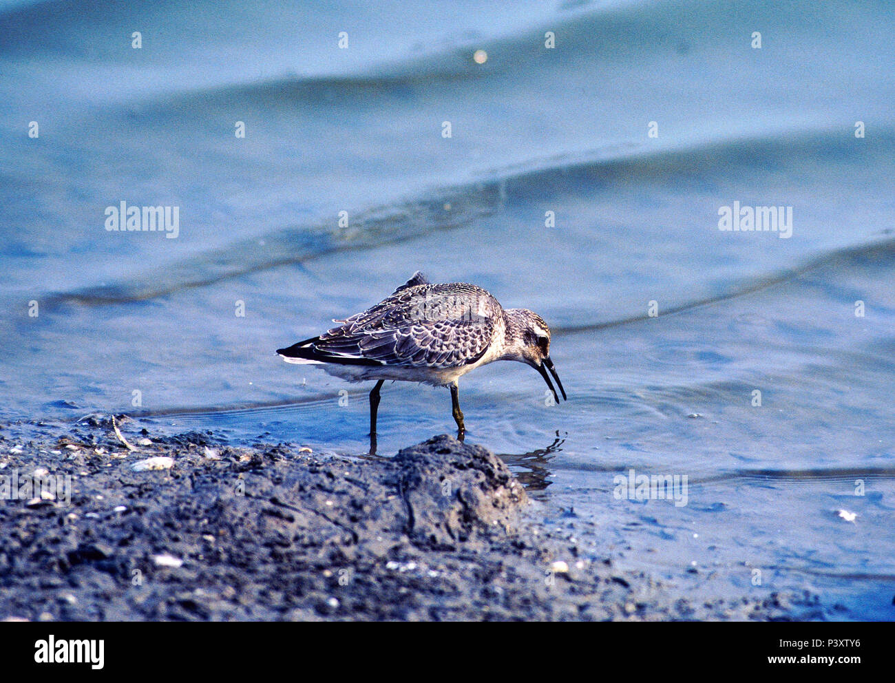 Knot Stock Photos Images Alamy Redknot Shoes Tech Brown Red Calidris Canutus Scolopacidae Wader Bird Animal Oostvaarder Plassen