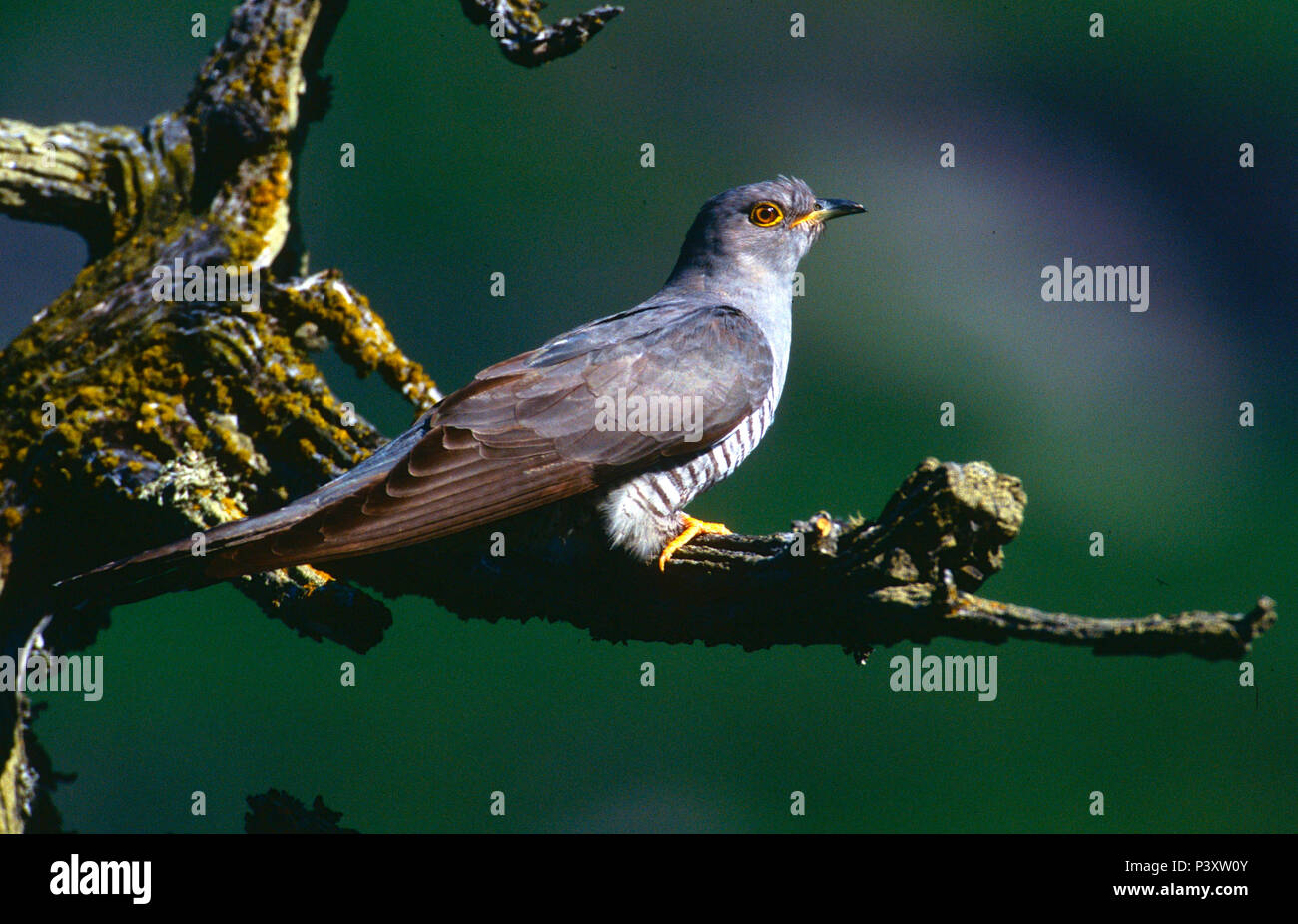 Common Cuckoo, Cuculus canorus, Cuculidae, bird, animal, Zervreila, Vals, Alps, Canton of Graubünden, Switzerland Stock Photo