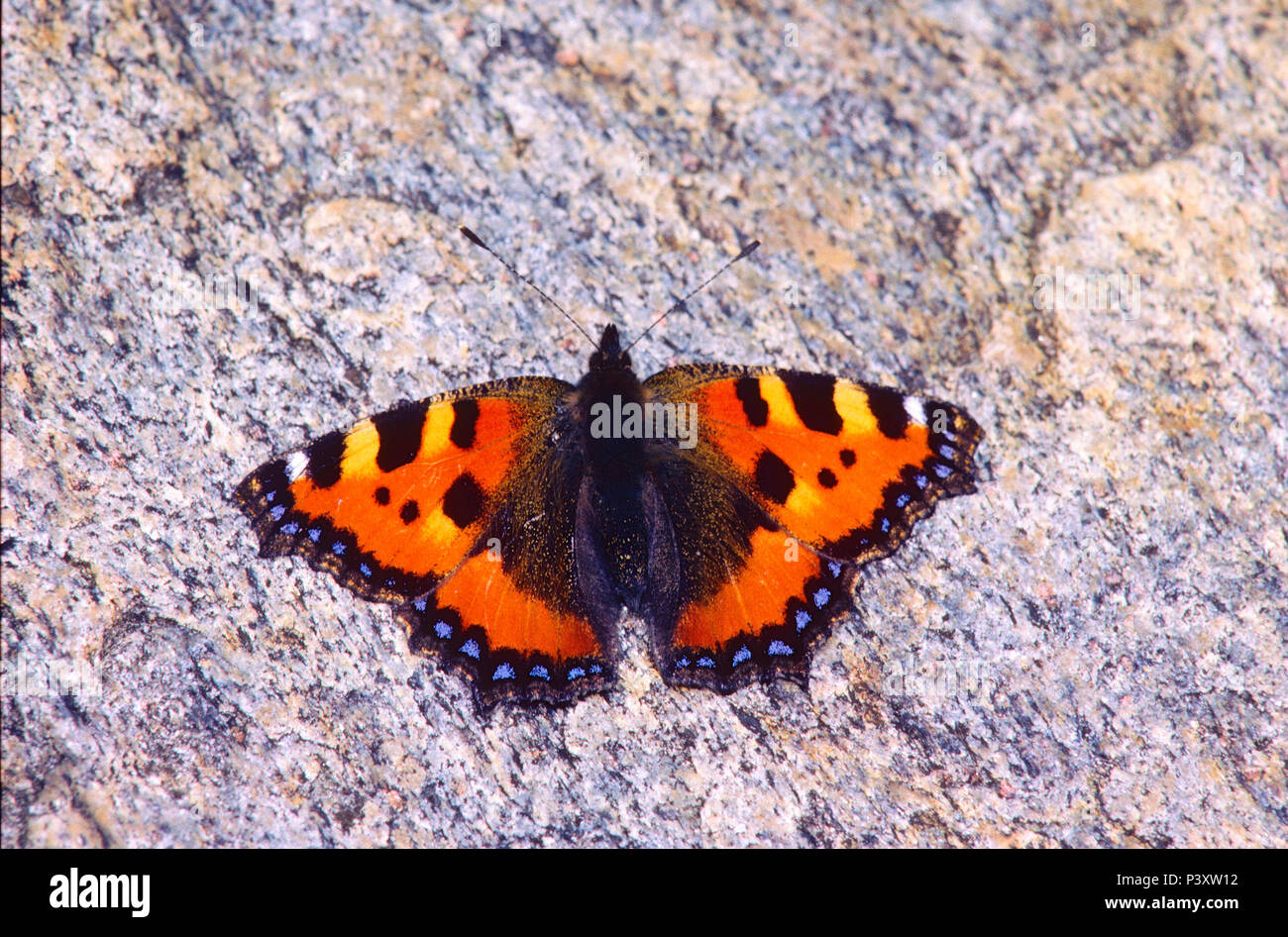 Small Tortoiseshell, Aglais urticae, Nymphalidae, butterfly, insect, animal, Leventina, Canton of Ticino, Switzerland Stock Photo