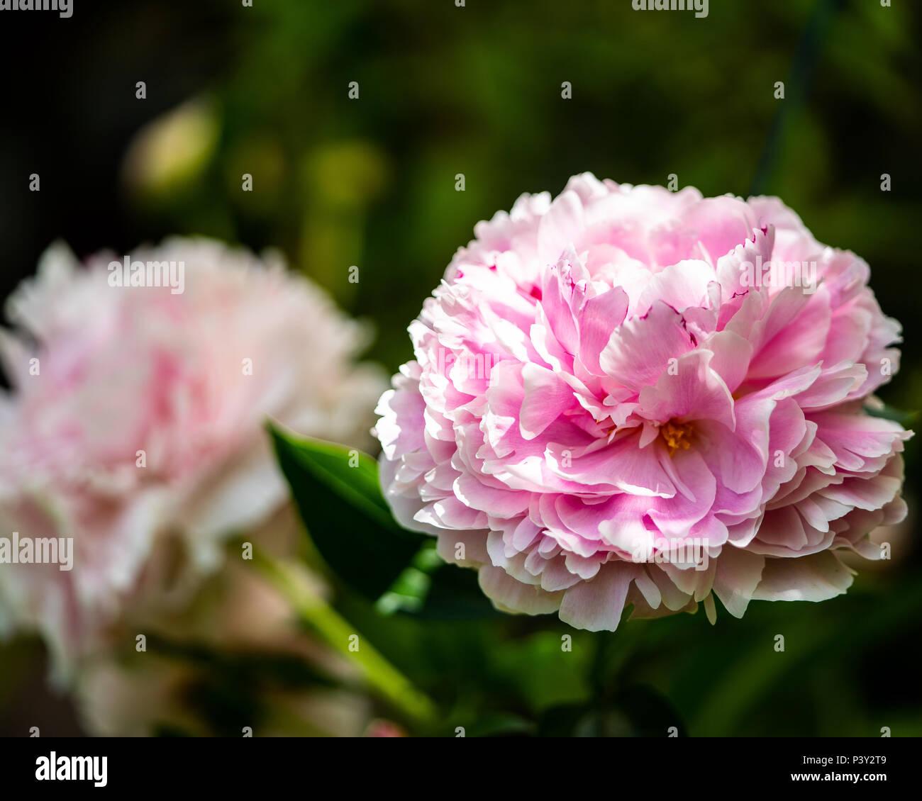 Beautiful pink flower  - Stock Image