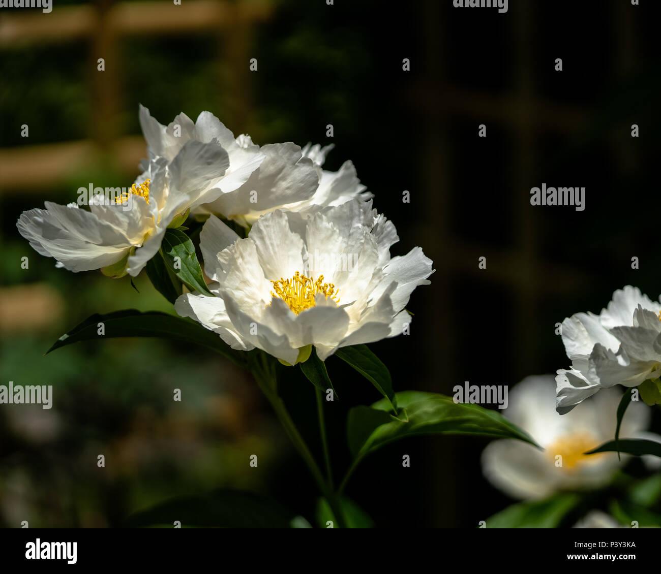Beautiful white flower  - Stock Image
