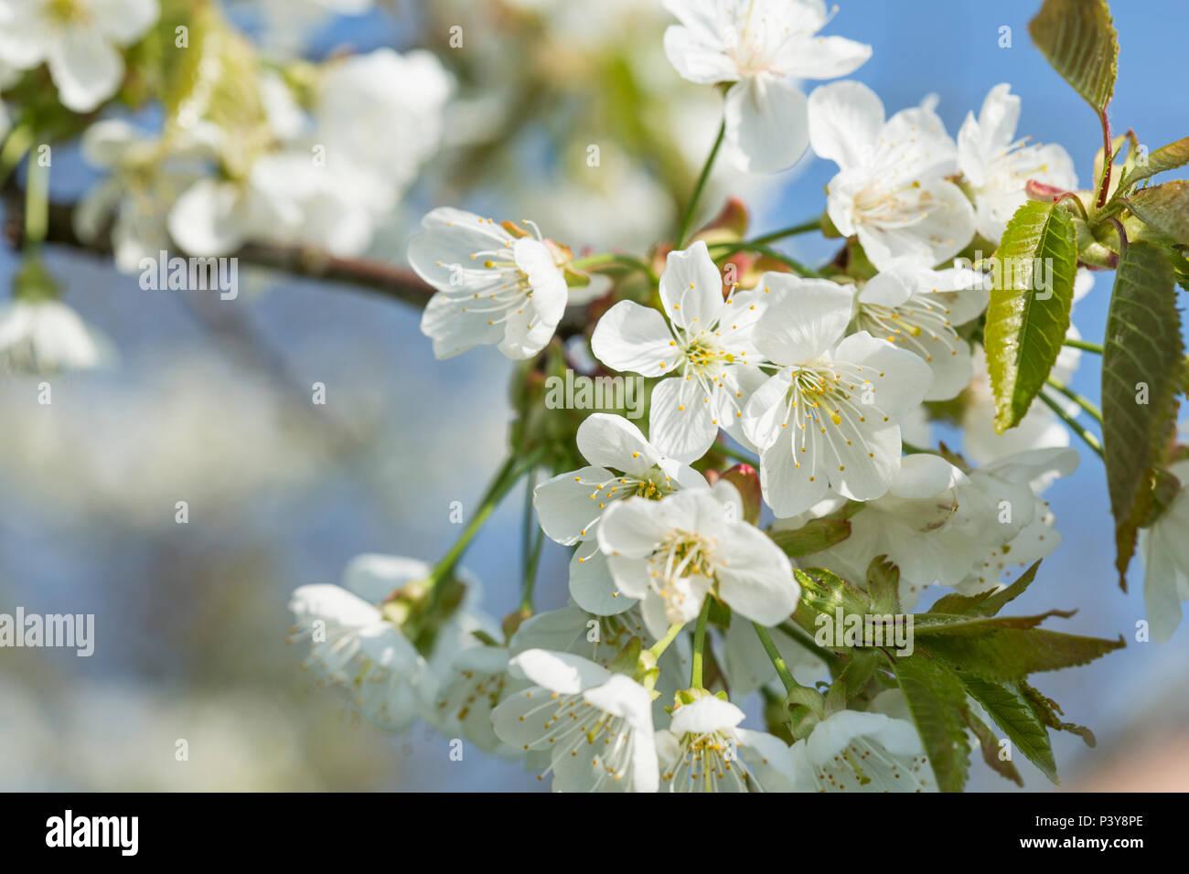 Kirschblüte - Stock Image