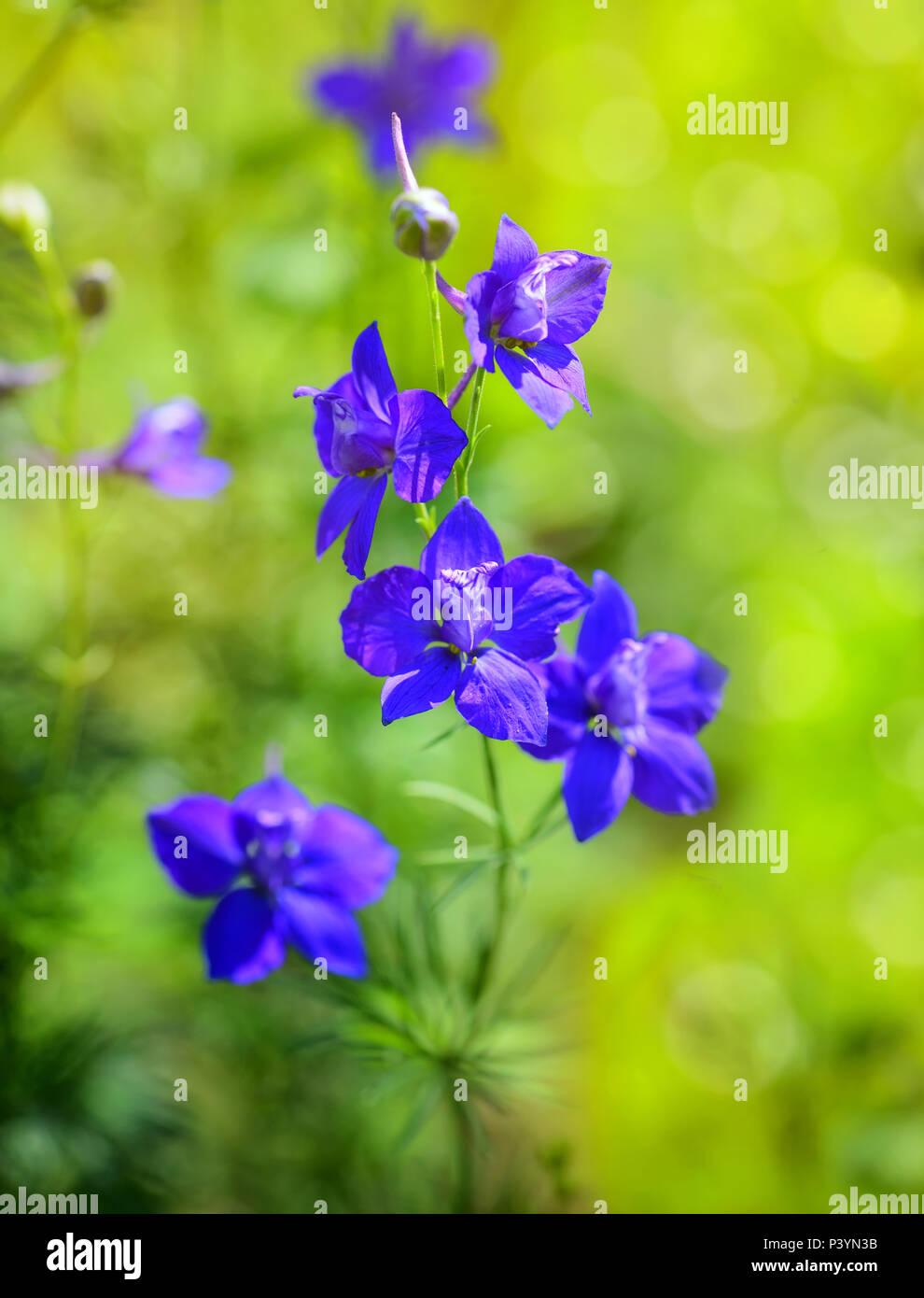 Beautiful purple Delphinium consolida (Consolida regalis) on a nature background - Stock Image