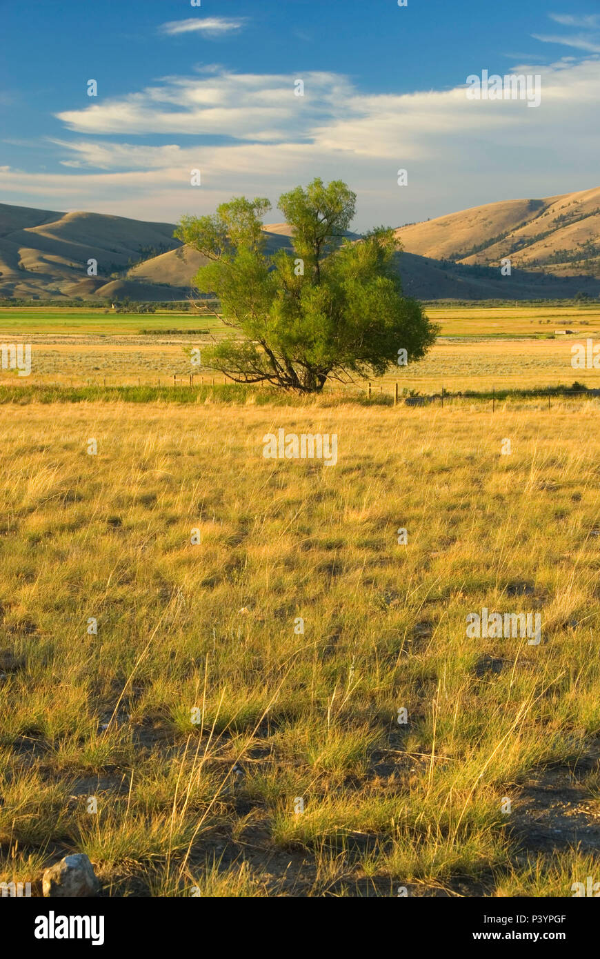 Ranchland with willow, Lewis and Clark County, Montana - Stock Image