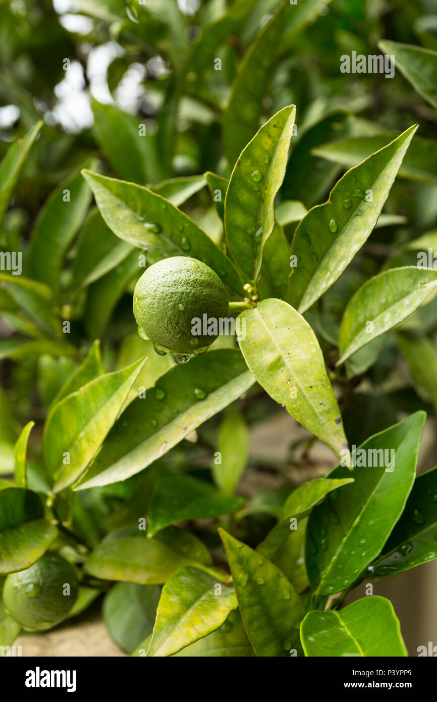 Single solitary small round green Rutaceae lime fruit growing on tree dripping with water droplets after rainfall in garden at Herceg-Novi, Montenegro Stock Photo