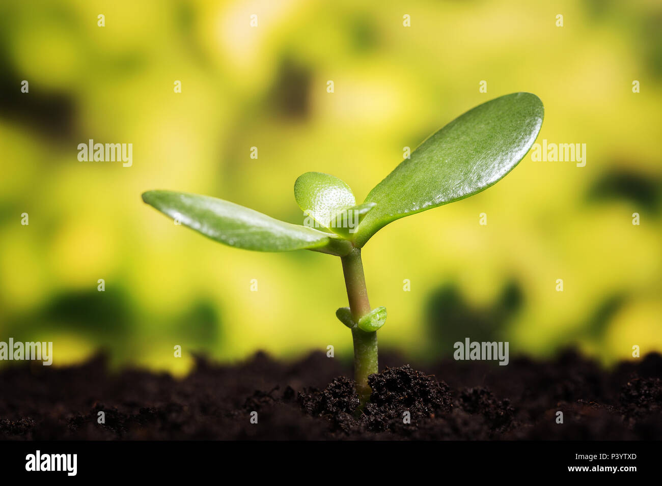 Growth symbol. Small plant growing up from the soil over defocused background with copy space - Stock Image