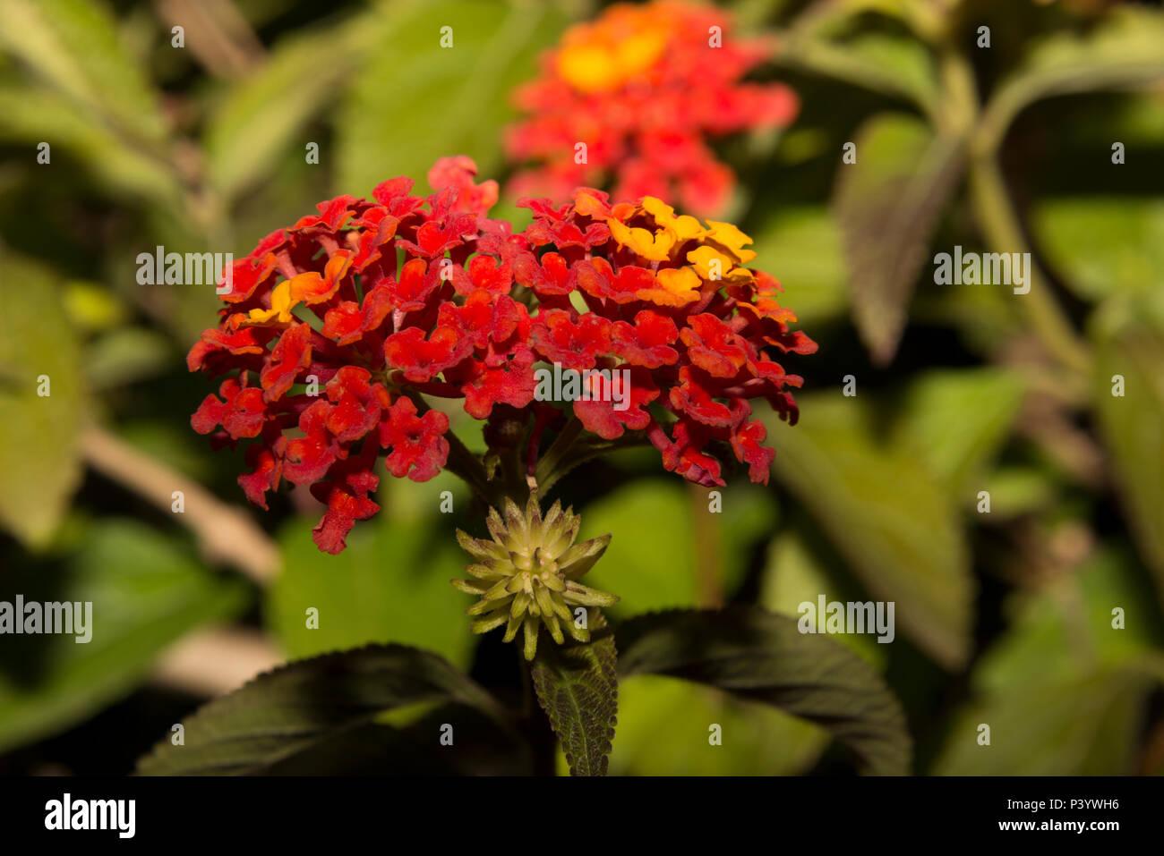 Wild Sage (Lantana camara) Stock Photo