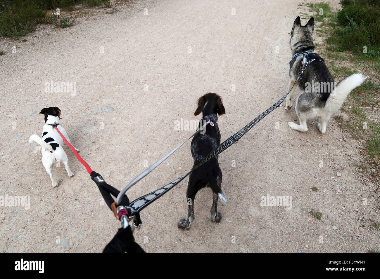 Three dogs pulling on one lead - Stock Image