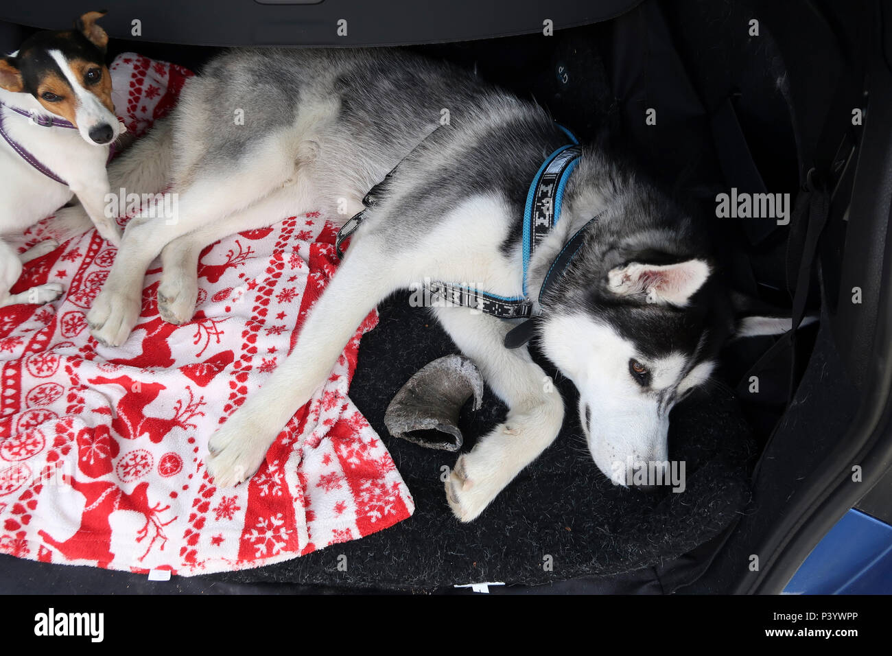 Dogs lying in car boot - Stock Image