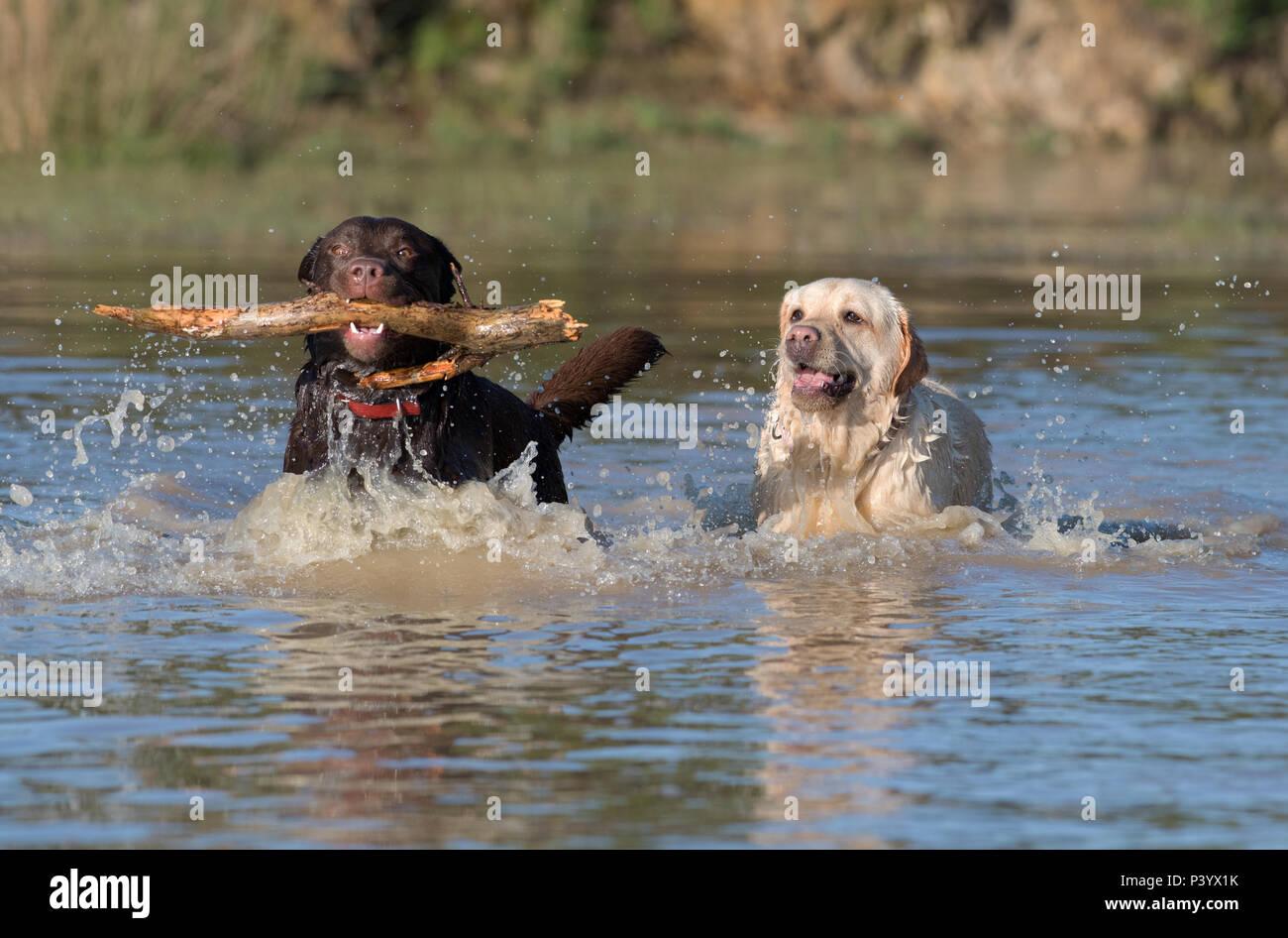 A pair of Labrador Retriever dogs-Canis lupus familiaris play. Uk - Stock Image