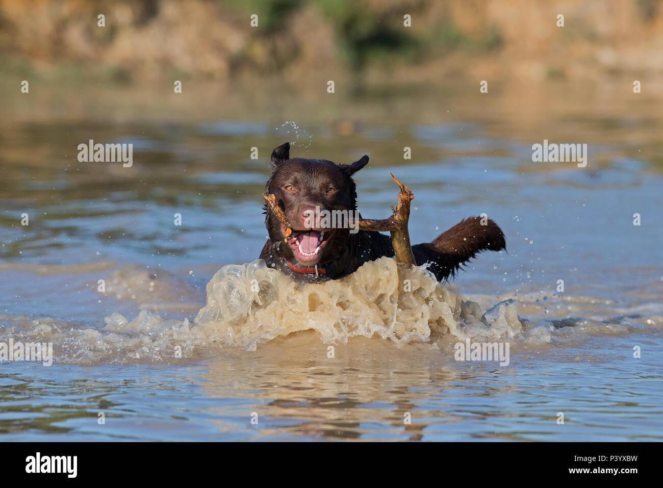Labrador Retriever dog-Canis lupus familiaris. - Stock Image
