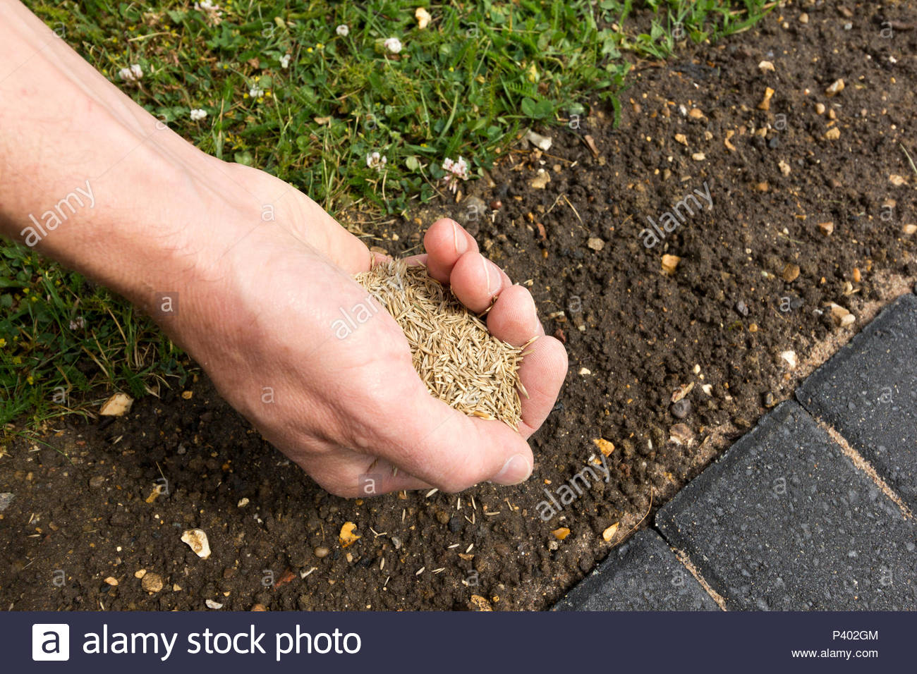 Close up of person with grass seed in their hand ready for sowing - Stock Image