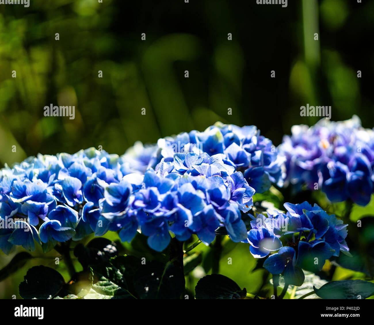 Beautiful blue flower - Stock Image