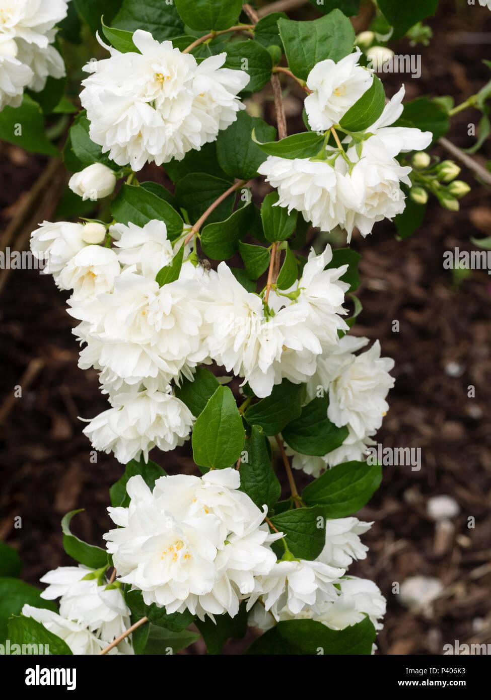 White Flowering Philadelphus Mock Orange Flowers Fragrant Stock