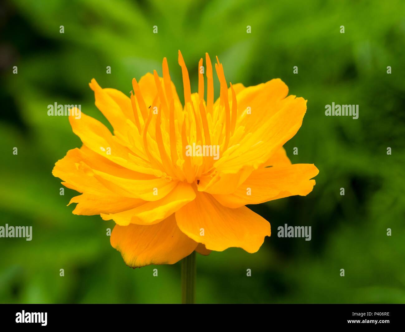 Orange Flower Of The Moisture Loving Early Summer Flowering