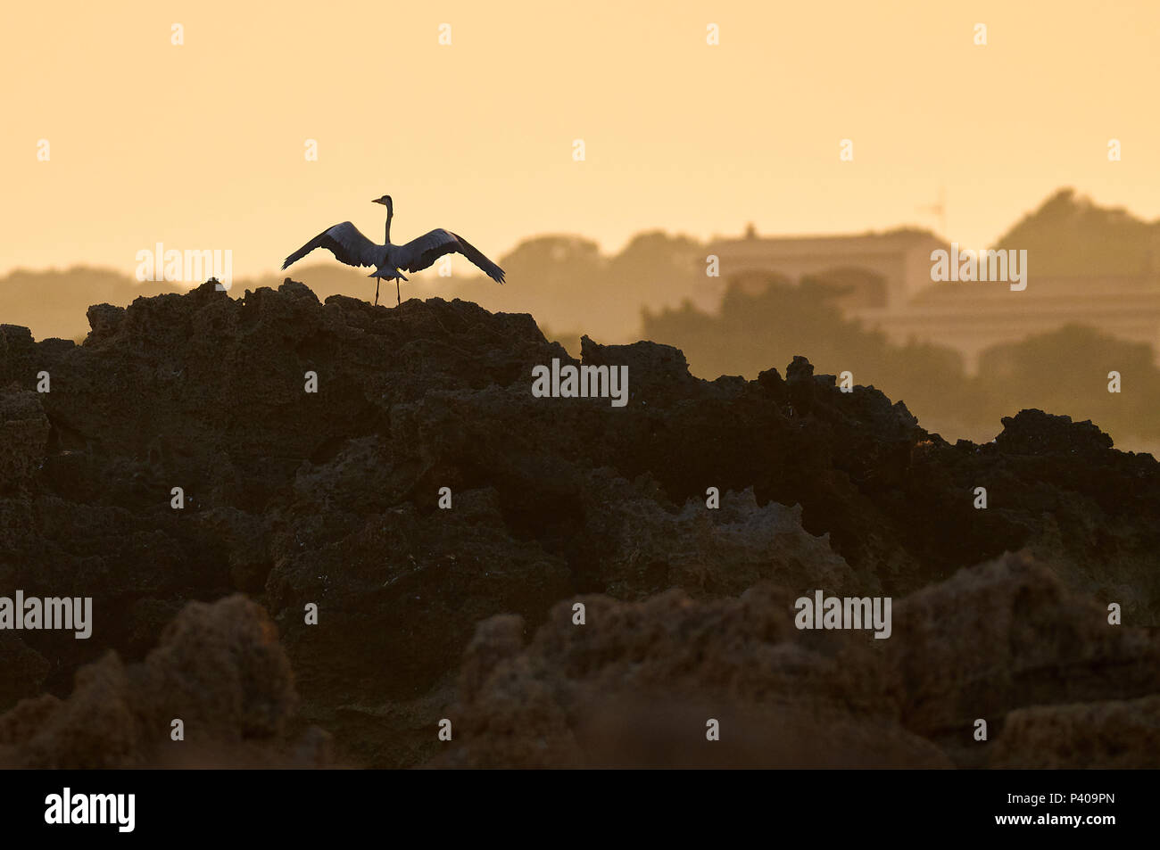 Grey heron (Area cinerea) with extended wings against golden sky at sunset in Ses Salines Natural Park seashore (Formentera, Balearic Islands, Spain) - Stock Image