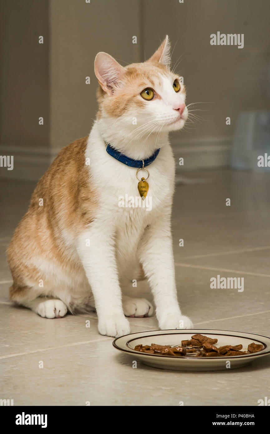 cat won't eat food placed before him MR   © Myrleen Pearson.  Ferguson Cate - Stock Image