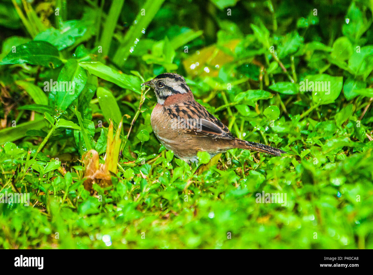 Rufous-collared Sparrow with spots of water on its feathers from the early morning dew in the Atlantic Rainforest Stock Photo