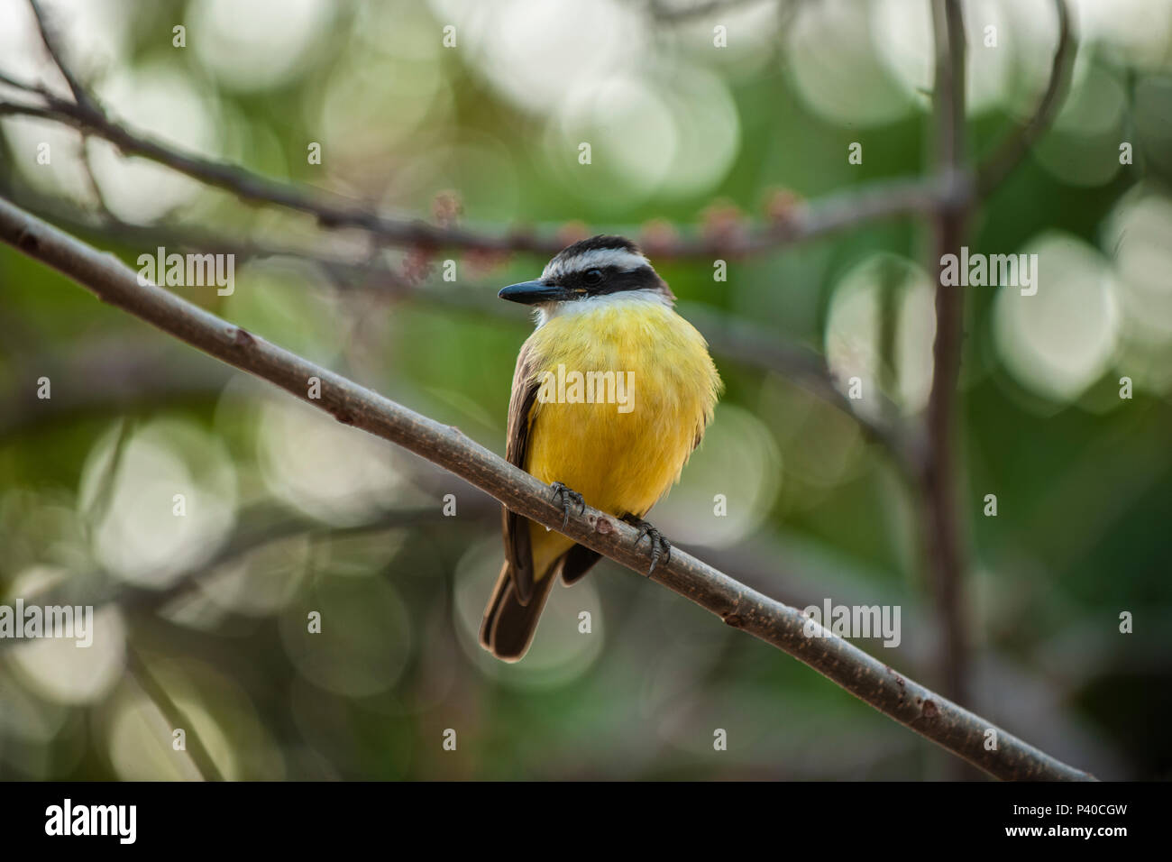 A Great Kiskadee (Pitangus sulphuratus) perching on a branch in the Pantanal wetlands of central Brazil - Stock Image