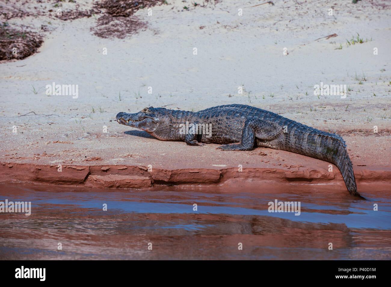 A caiman resting on the edge of the Sao Lourenco river, Pntanal - Stock Image