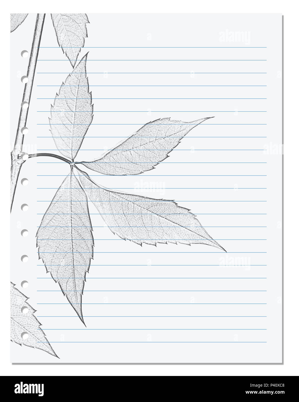 Notebook sheet in ruler with black and white pencil drawing of virginia creeper leaf parthenocissus quinquefolia foliage back to school backgroun