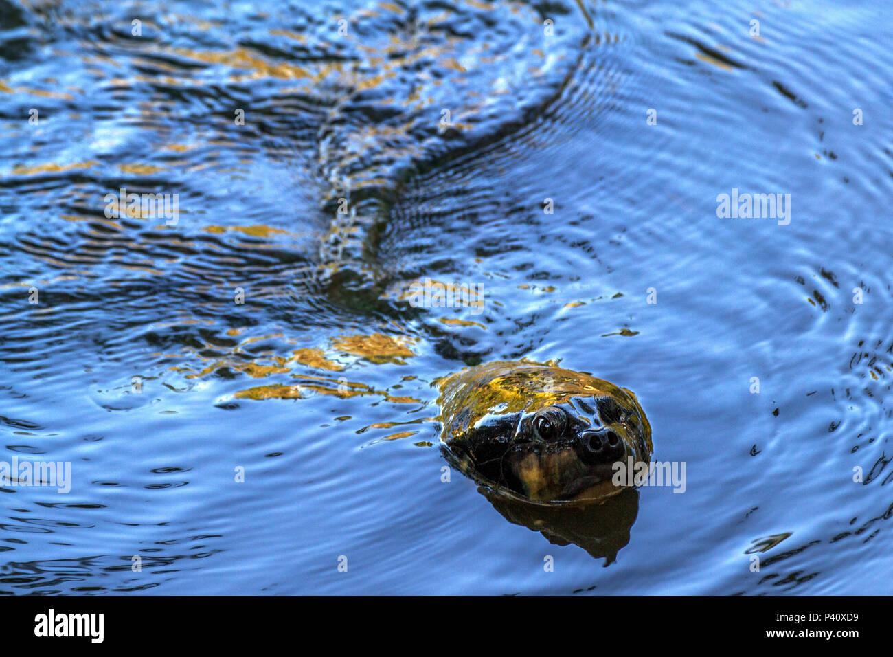 Manaus - AM Tartaruga-da-amazônia Podocnemis expansa quelônio de água doce cágado tartaruga verdadeira araú jurará-açu tartaruga-do-amazonas grande porte Animal onívoro Fauna natureza Amazonas Manaus Norte do Brasil Amazônia - Stock Image