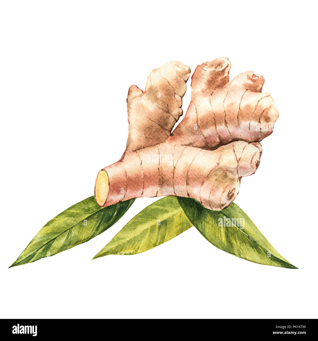 Hand Drawn Ginger watercolor sketch. Illustration For Food Design. - Stock Image