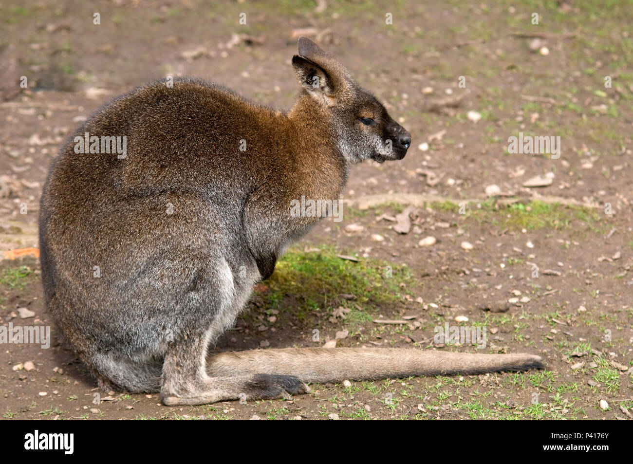 Red Necked Bennetts Wallaby Stock Photo