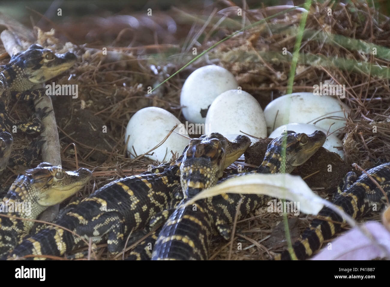 Newborn alligator near the egg laying in the nest. - Stock Image