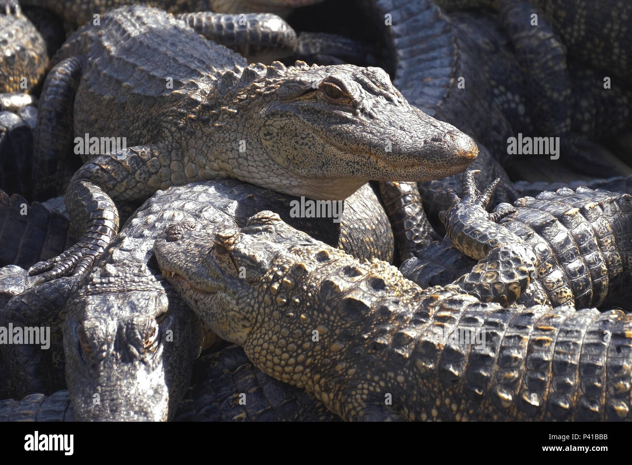 Alligators breeding farm. Stock Photo