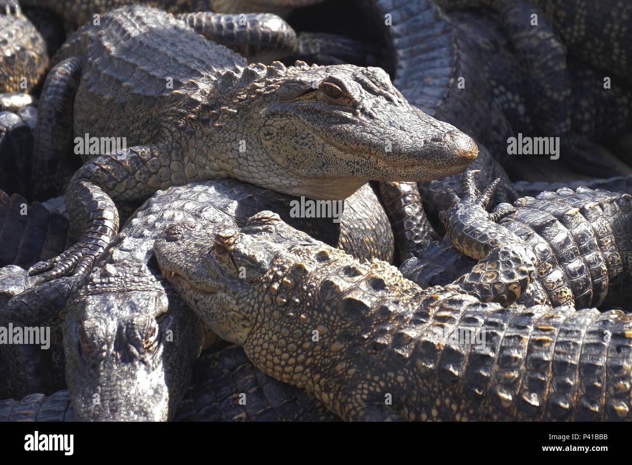 Alligators breeding farm. - Stock Image