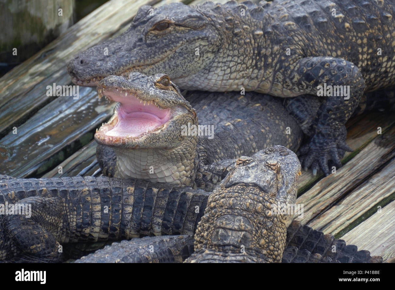 Alligator with mouth open. - Stock Image