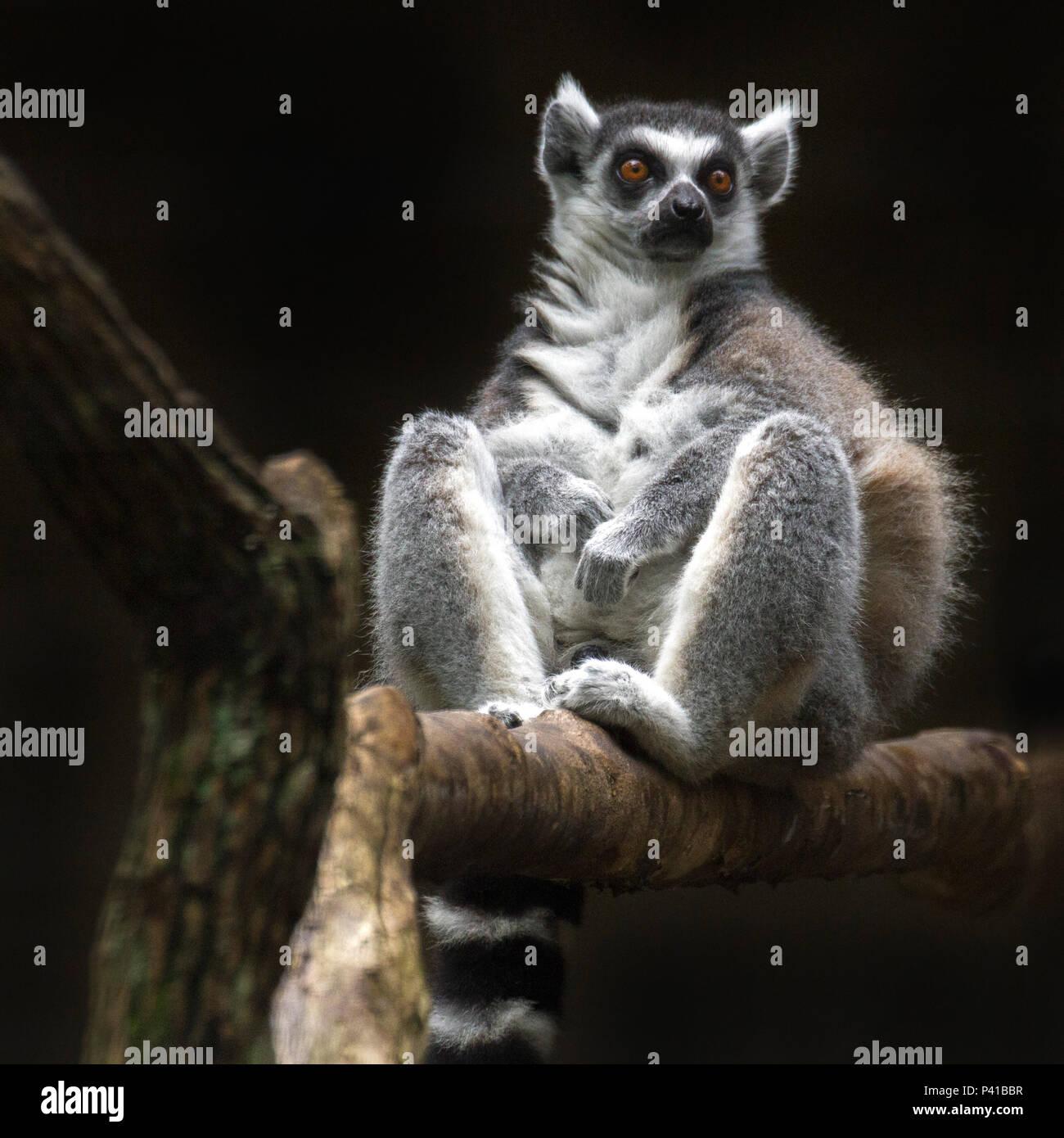 Lémure-de-cauda-anelada; Lemur catta; primata estrepsirrino.Mamífero; animal; Fauna; Natureza Stock Photo
