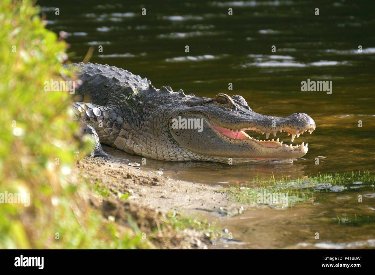 Alligator laying near a pond with its mouth open. - Stock Image